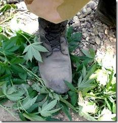 Cop-Boot-Stomps-Marijuana